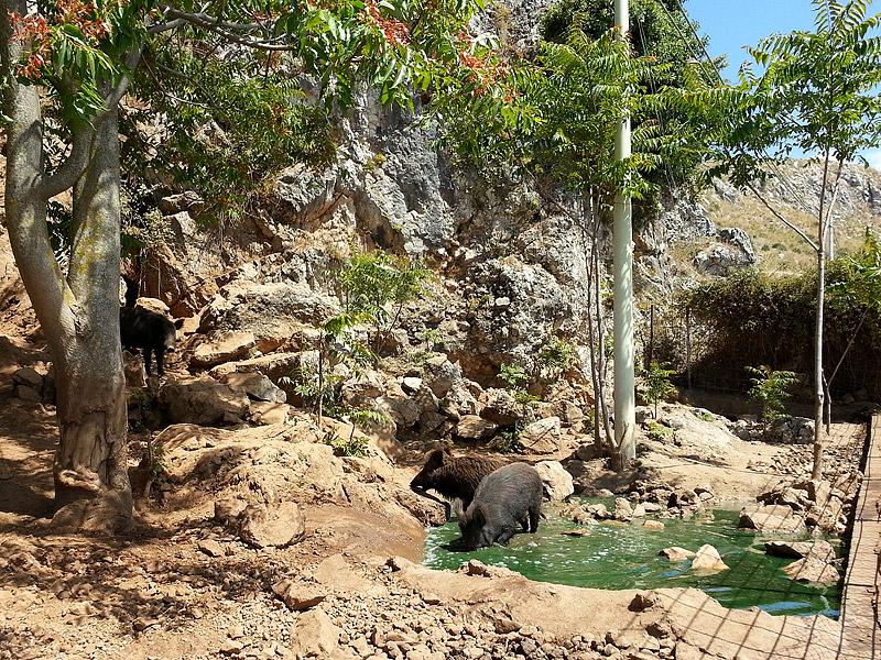 Wild boars near Sagana