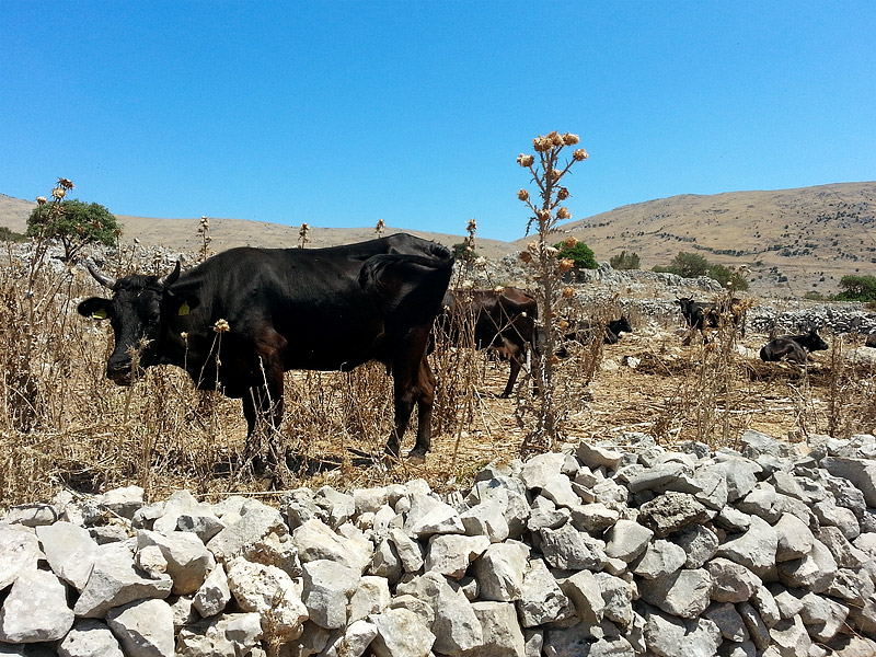Cows in the mountains near Piano Margi