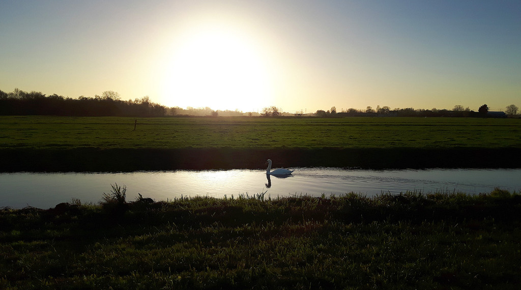 A swan in the evening light