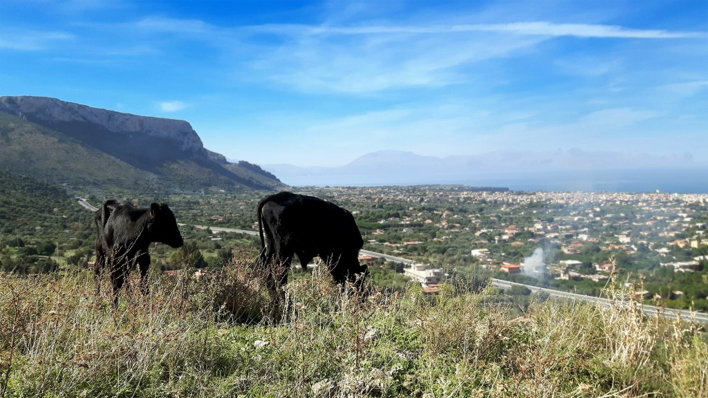 Cows grazing 1 km into the climb