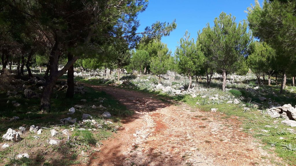Entering the area with pine trees
